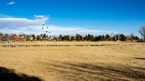 Geese landing on soccer field with blue sky and cirrus clouds royalty free stock photo