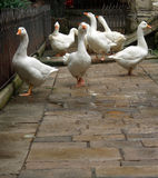 Geese at large Stock Image