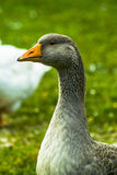 Geese. Stock Photography
