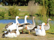 Geese on a lawn Stock Image