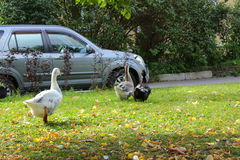 Geese on the lawn. Geese and car. Poultry in the city of Tsarskoye Selo stock photography