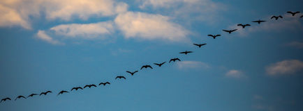 Geese Line Royalty Free Stock Photography