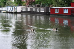 Geese in Little venice, London Royalty Free Stock Photo