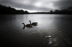 Geese on a local lake. Stock Photo