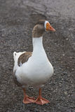 Geese. Local geese stay feed during the winter thanks to locals act of kindness Royalty Free Stock Photography
