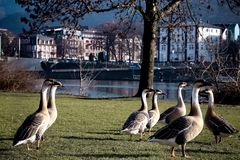 Geese with long white necks. Beautiful geese with long necks. Geese graze near the river stock photo