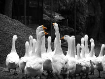 Geese March royalty free stock photo