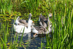 Geese in marshy pond Stock Images