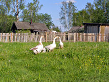 Geese on meadow Royalty Free Stock Photo