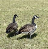 Geese in a Meadow Stock Images