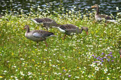 Geese on a meadow Royalty Free Stock Photography