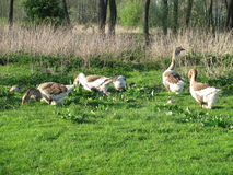 Geese. Meadow grass covered first.Trees are beginning to turn green.Husyata pasture. Tasty, juicy grass royalty free stock photos