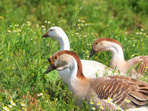 Geese on a meadow Stock Images
