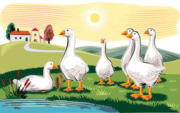 Geese in a meadow Royalty Free Stock Image