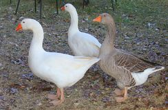Geese in the meadow. Some geese in the meadow Royalty Free Stock Photo