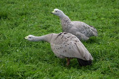 Geese in the meadow. Royalty Free Stock Photography