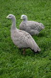 Geese in the meadow. Stock Photo