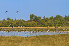 Geese migrating south Royalty Free Stock Photography