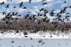 Geese migration Royalty Free Stock Image