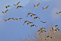 Geese migration Royalty Free Stock Photo