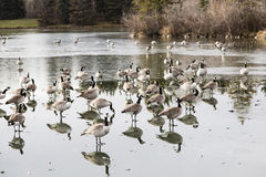 Geese migration stock photos