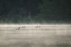 Geese on Misty Lake Stock Photos