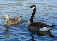 Geese. Mom and baby goose enjoying the day Royalty Free Stock Images