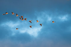 Geese in morning flight Stock Photo
