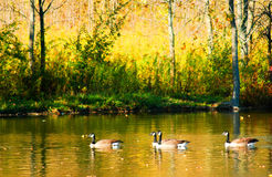 Geese in motion. Royalty Free Stock Images