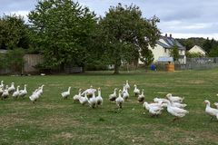 Geese in nature. Domestic geese graze in the meadow. Poultry walk on the grass. Domestic geese are walking on the grass. Rural bi stock photo