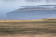 Geese near half frozen lake. A pair of geese near a partly frozen lake at a nature reserve area Royalty Free Stock Image