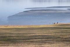 Geese near half frozen lake royalty free stock image