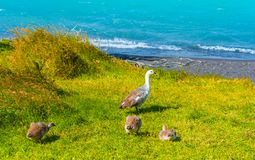 Geese near lake Pehoe, Torres del Paine National Park, Patagonia, Chile, South America. Copy space for text royalty free stock image