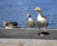 Geese next to the waters edge Stock Photo