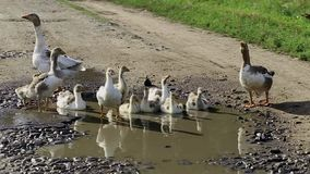 Geese out of the water stock video footage