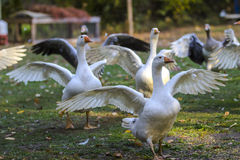 Geese in outdoor enclosure Royalty Free Stock Images