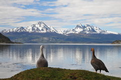 Geese overlooking lake. A male and female goose in Tierra Fuego national park near Ushuaia, the most southern located city in Argentina. I was there on holiday Stock Photography