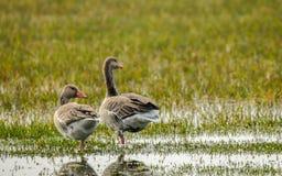 Geese Pair Royalty Free Stock Photos