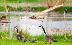 Geese parents. And chick on a stroll Royalty Free Stock Photos