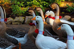 Geese in park at Christmas. Geese walking in a park, decorated with neckbands in Christmas season Stock Image
