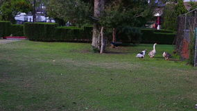 Geese in the park on green grass, eating grass. One aggressive goose in the gaggle. HD. 1920x1080i stock video