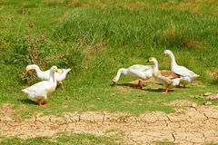 Geese in the pasture Stock Photos