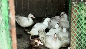 Geese on the pasture of a poultry farm
