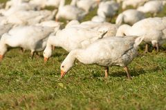 Geese pecking forage from the grass. Many geese on a meadow and pecking forage from the grass stock photography