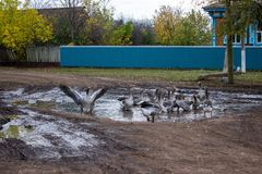 Geese Playing in a Puddle. Geese swim in a puddle on a rural road stock photo