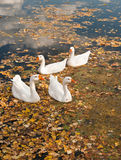 Geese on a pond Royalty Free Stock Image