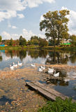 Geese on pond Stock Photos