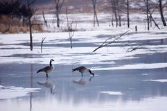 Geese on the Pond. A pair of geese on a frozen pond royalty free stock image