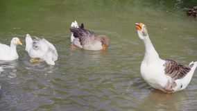 Geese at the pond. Aggressive Geese at the pond stock video footage