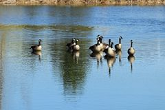 Geese on the pond. With their reflections in the water Stock Photography